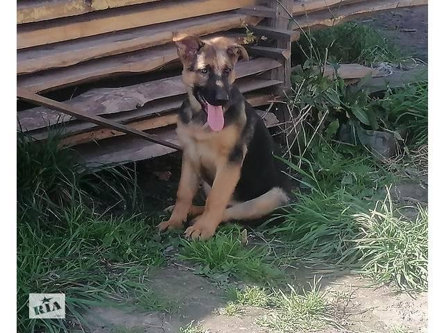 бу Продаються щенки!!! в Львові