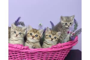 Продаж британських кішок