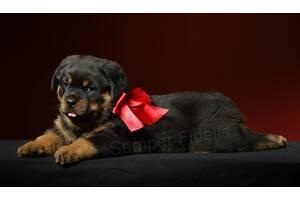 Ротвейлер, щенок