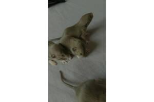 Щурики,пацюки