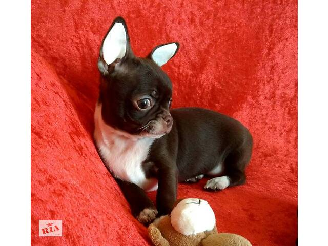 Шоколадная беби фейс девочка чихуахуа