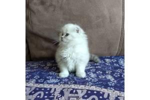 Шотландский котенок шиншилла - поинт