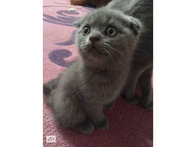 купить бу Шотландські кошенята в Тернополе