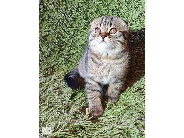 купить бу Шотландский вислоухий черный пятнистый котик с прививками и документами в Житомирі
