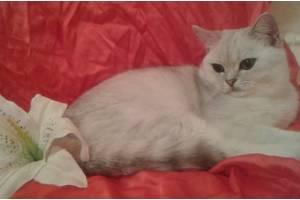 Вязка! Шикарный кот шиншилла