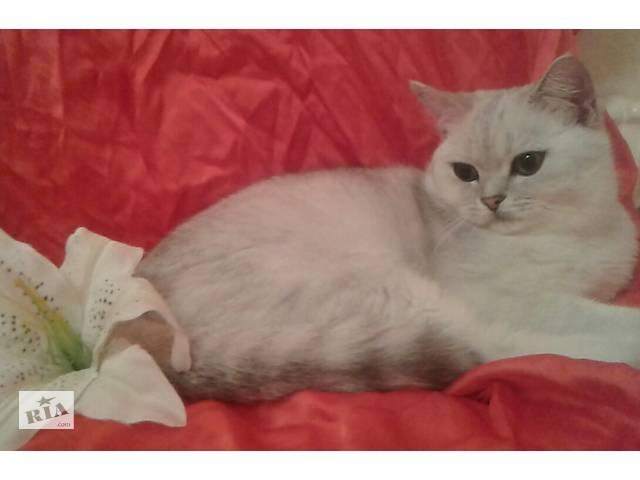 Вязка! Шикарный кот шиншилла- объявление о продаже  в Мариуполе