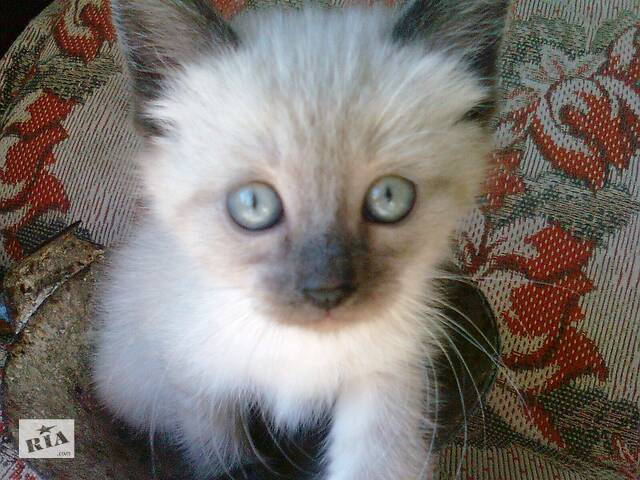 бу сіамські  котики породи  color  point в Тернополе