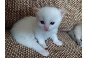 """Тайські кошенята - """"волошкові очі"""" (сіамські)"""