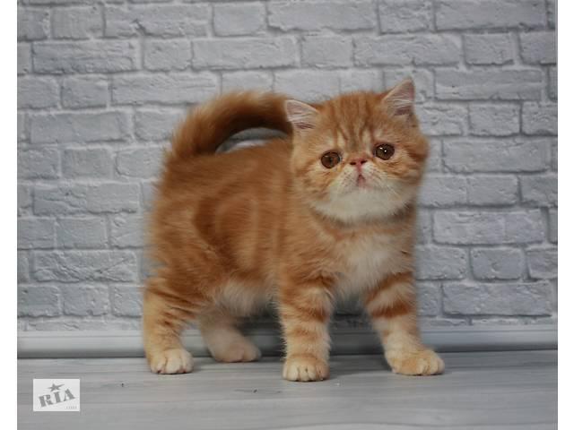 Яркая клубная дружелюбная котёнок девочка Экзотическая короткошерстная