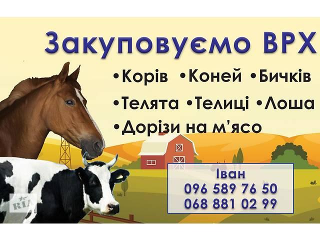 купить бу Закуповуємо  ВРХ Корови Телиці  Бички Коні  Лоша Телята на м'ясо Дорого в Житомире