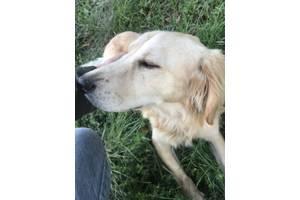 Найдено собачки золотого цвета Ровно