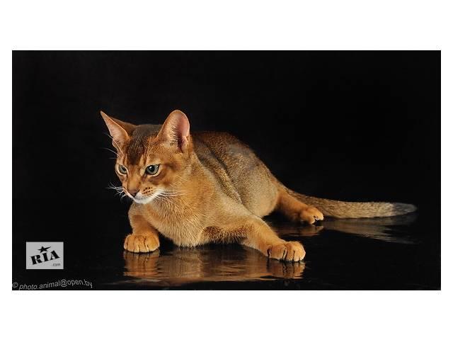 бу Вязка абиссинских кошек Питомник абиссинских кошек  sunnybunny.by